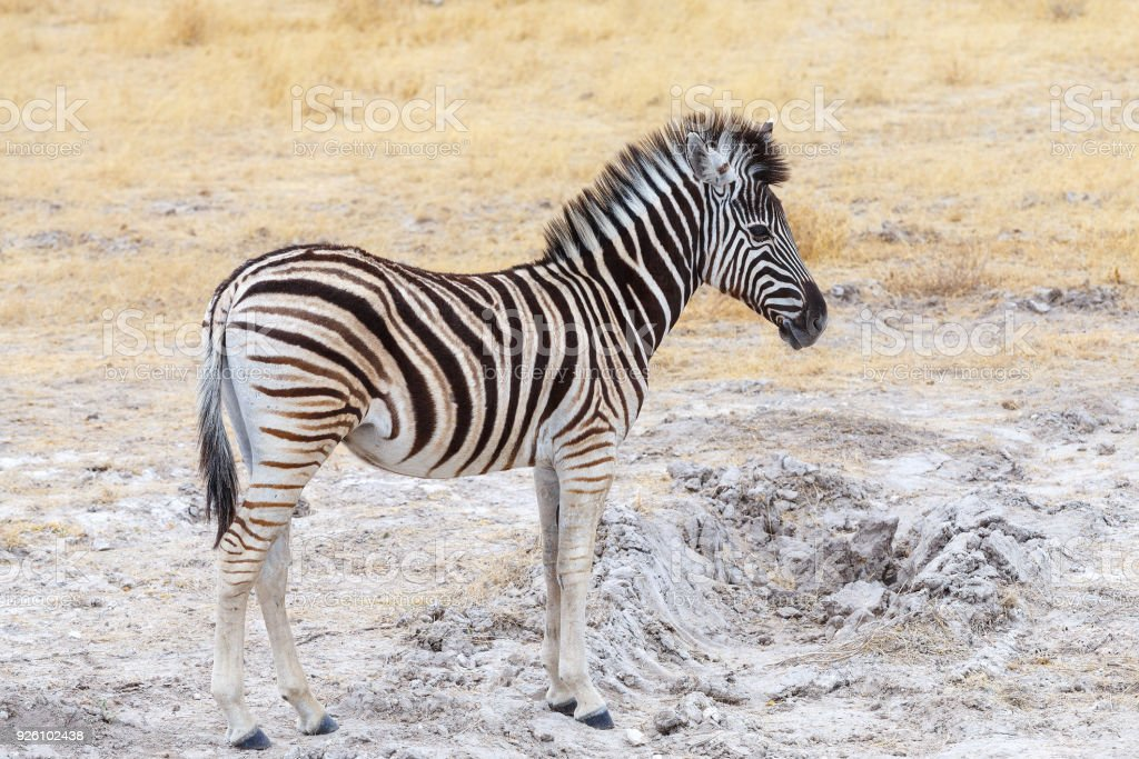 cute baby of Zebra in african bush stock photo