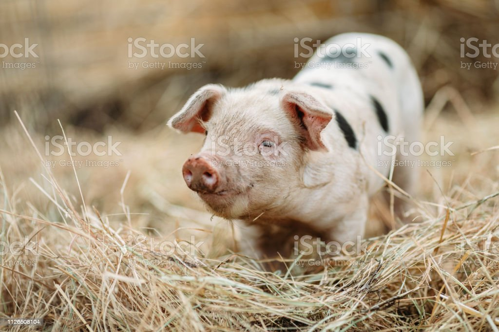 Cute Baby Pig Close Up At Organic Farm Stock Photo Download Image Now Istock