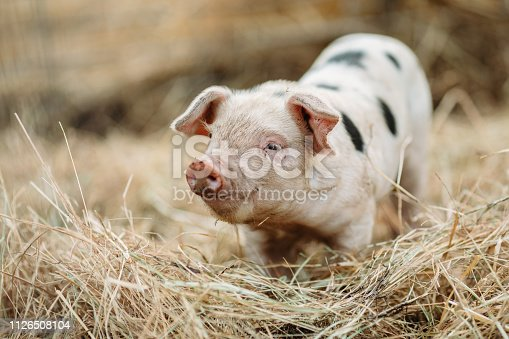 An adorable piglet gets up close and personal with the camera in a pigpen on a beautiful Oregon state organic farm in the United States.