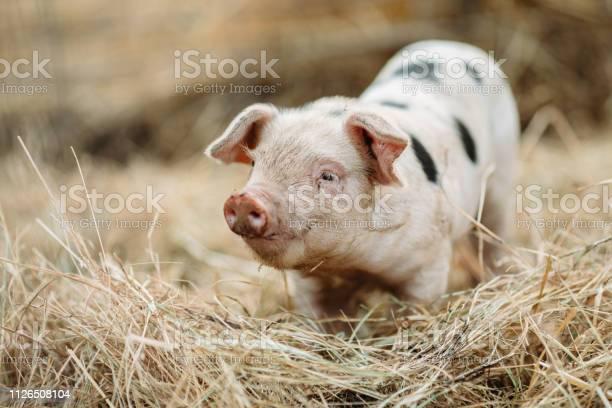 Cute baby pig close up at organic farm picture id1126508104?b=1&k=6&m=1126508104&s=612x612&h=f6k kn4yujtssh6rv1dcw9rjnizihjw5o1d p4wl7da=
