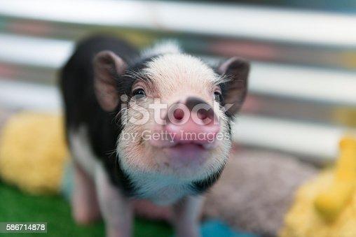 Closeup of mini pig baby.