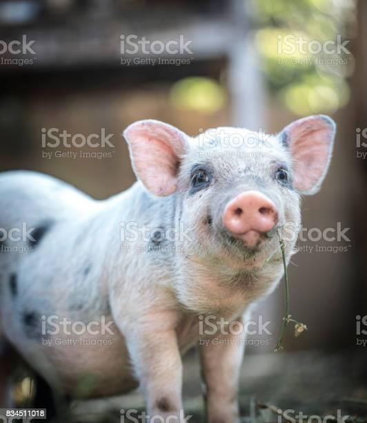 Cute baby piglet picture id834511018?b=1&k=6&m=834511018&s=612x612&h=gwmiiss0qnu7xt7eeabwmsyrhfe hvhsttdbxyxq3yw=