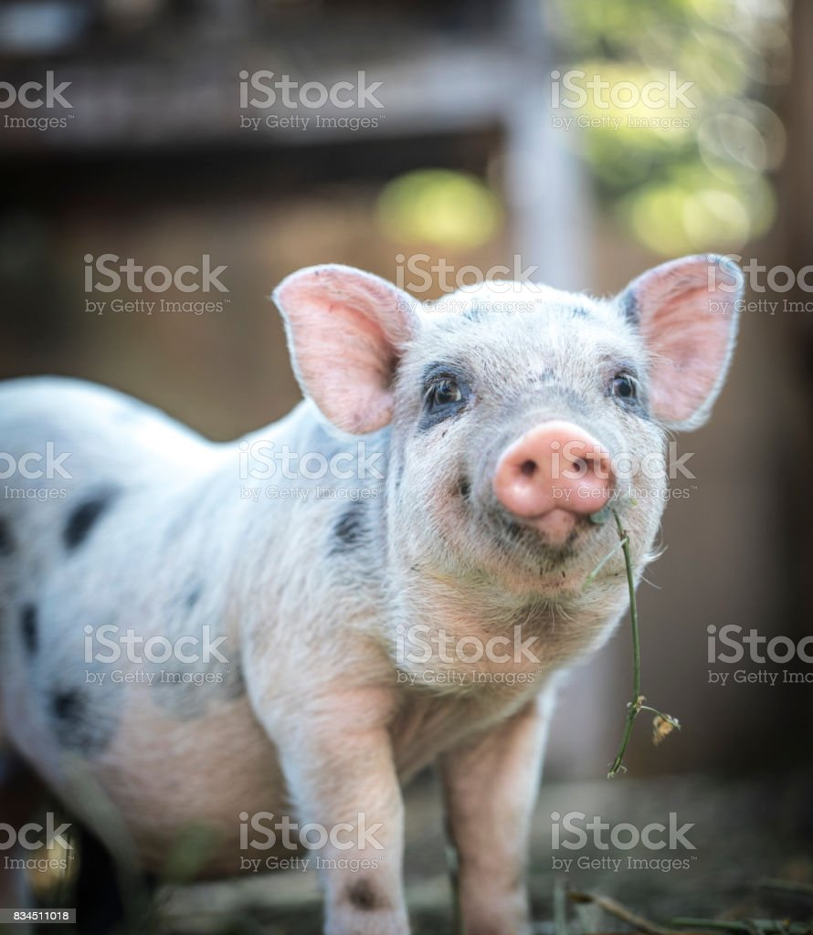 Cute baby piglet stock photo