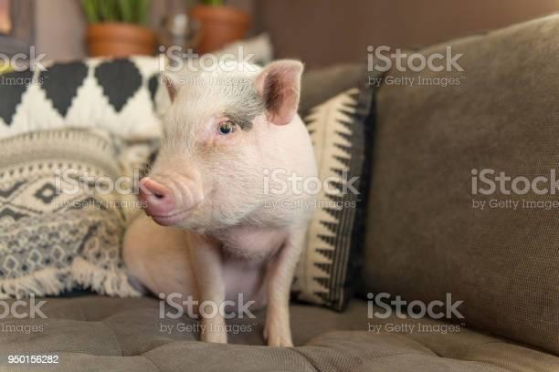 Cute baby piglet picture id950156282?b=1&k=6&m=950156282&s=612x612&h=coqqoxrhvnnhhvwlxexab3cn8icllmgbfdaauhkfy68=
