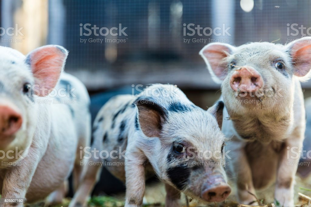 Cute baby piglets stock photo