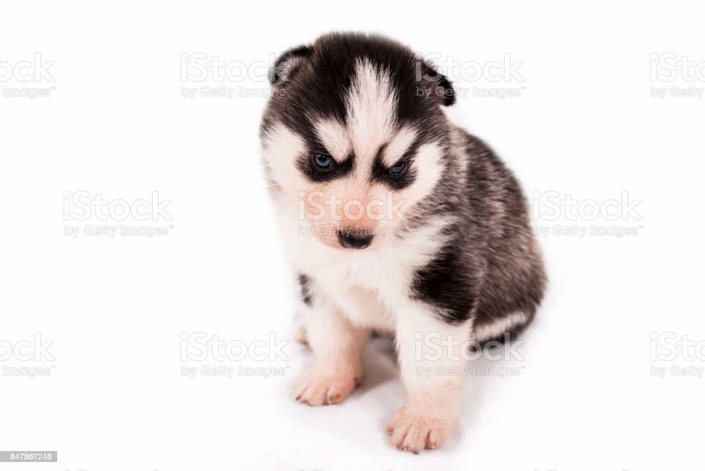 Cute Baby Puppy Siberian Husky Posing On A White Background Stock