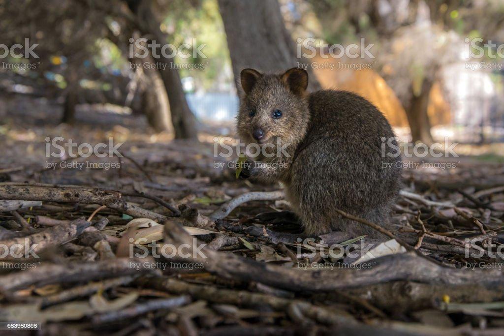 Cute baby qoakka eating a leaf. Rottnes Island, Western Australia stock photo