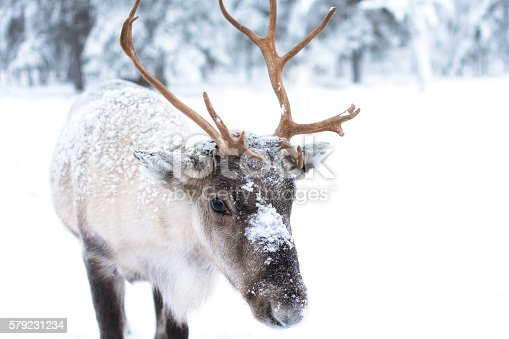 istock Cute Baby Reindeer 579231234