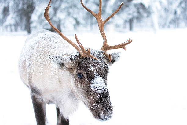 cute baby reindeer - forest animals stock photos and pictures