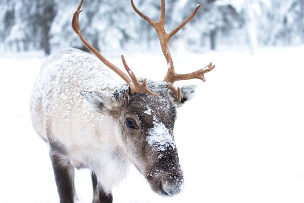 cute baby reindeer - viagem pela vida selvagem - fotografias e filmes do acervo