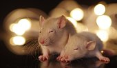 Cute baby rodents in front off fairy lights with bokeh background.