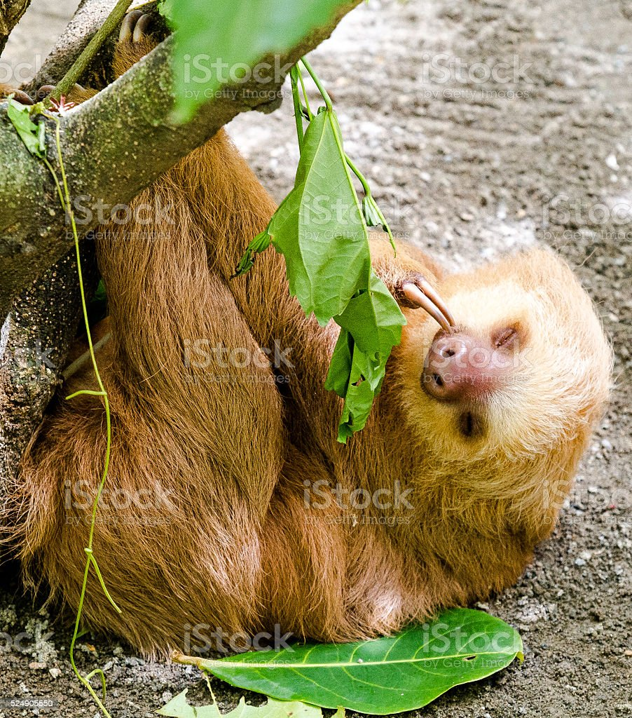 Cute Baby Sloth Eating Leaves From Tree Branch stock photo
