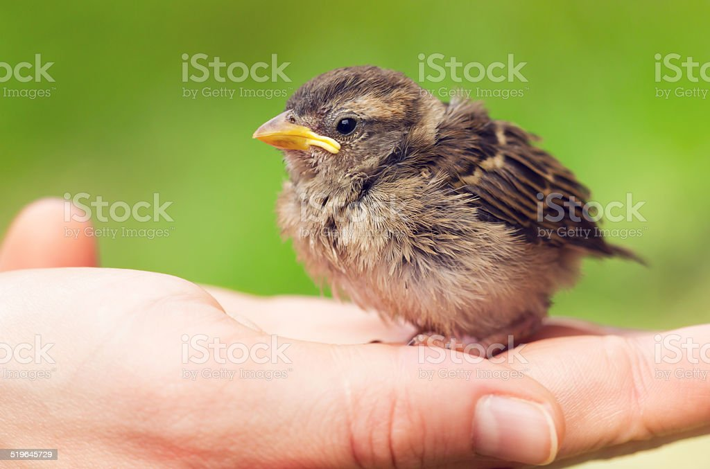 Cute Baby Sparrow In Hand Stock Photo Download Image Now Istock