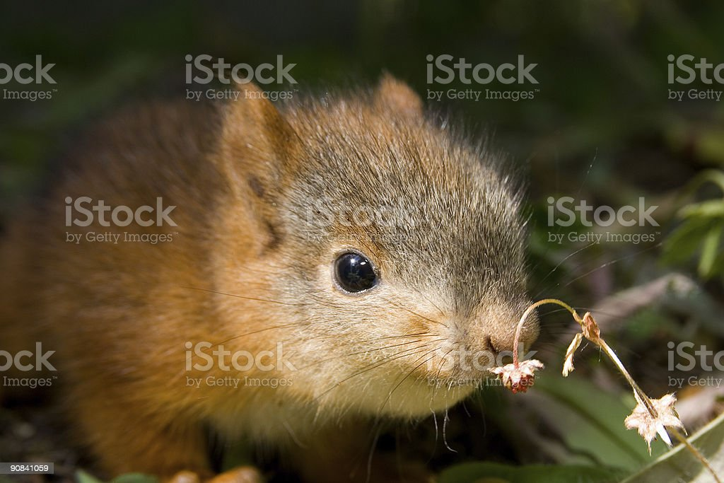 Cute baby squirrel royalty-free stock photo