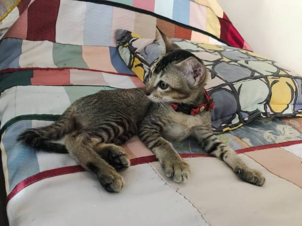 Cute baby tabby cat relaxing on bed picture id1157682620?b=1&k=6&m=1157682620&s=612x612&w=0&h=lvg yaesvbkhppafyim2k5o ab9nb59oxcfun2dgmk0=