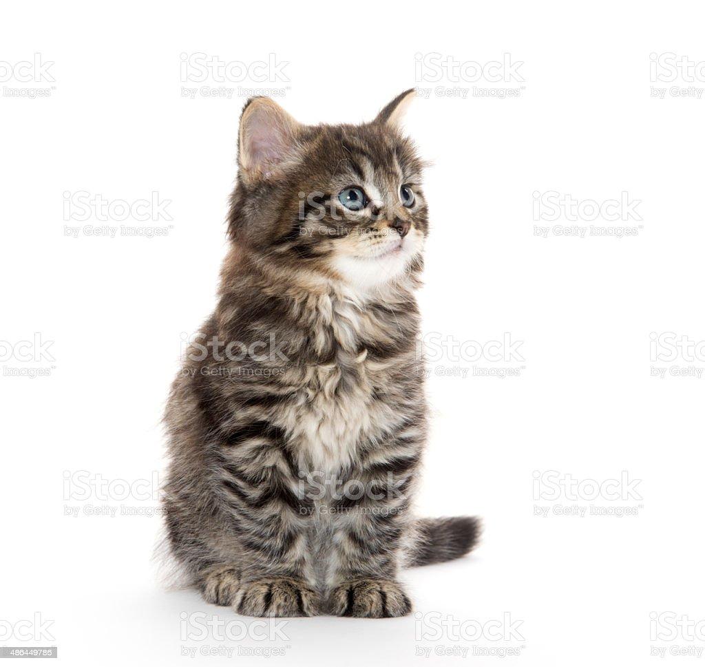 Cute baby tabby kitten on white stock photo