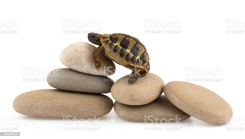 A cute baby turtle climbing on stones royalty-free stock photo