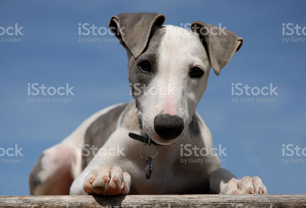 cute baby whippet royalty-free stock photo