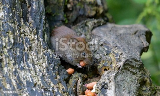 cute bank vole eating nuts wildlife funny