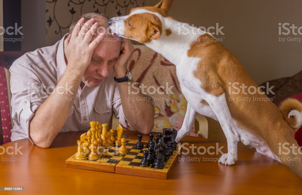 Cute basenji dog desperately licking its opponent during chess family tournament stock photo