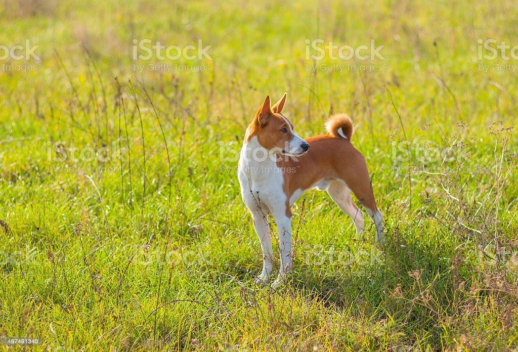 Cute Basenji dog in an autumnal park stock photo
