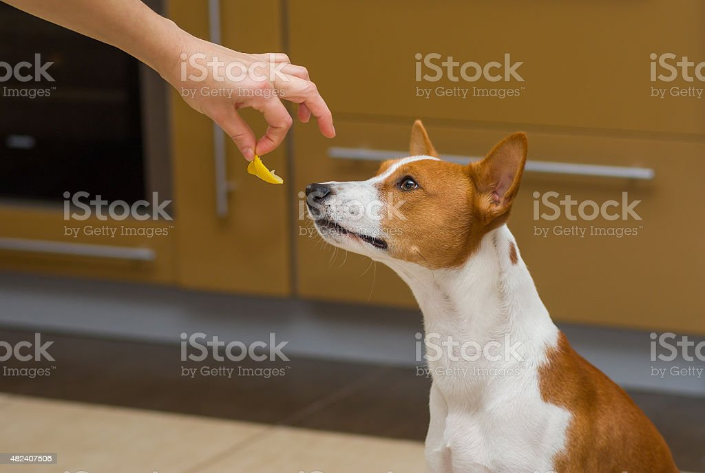 Cute basenji dog thinks about eat or not lemon stock photo