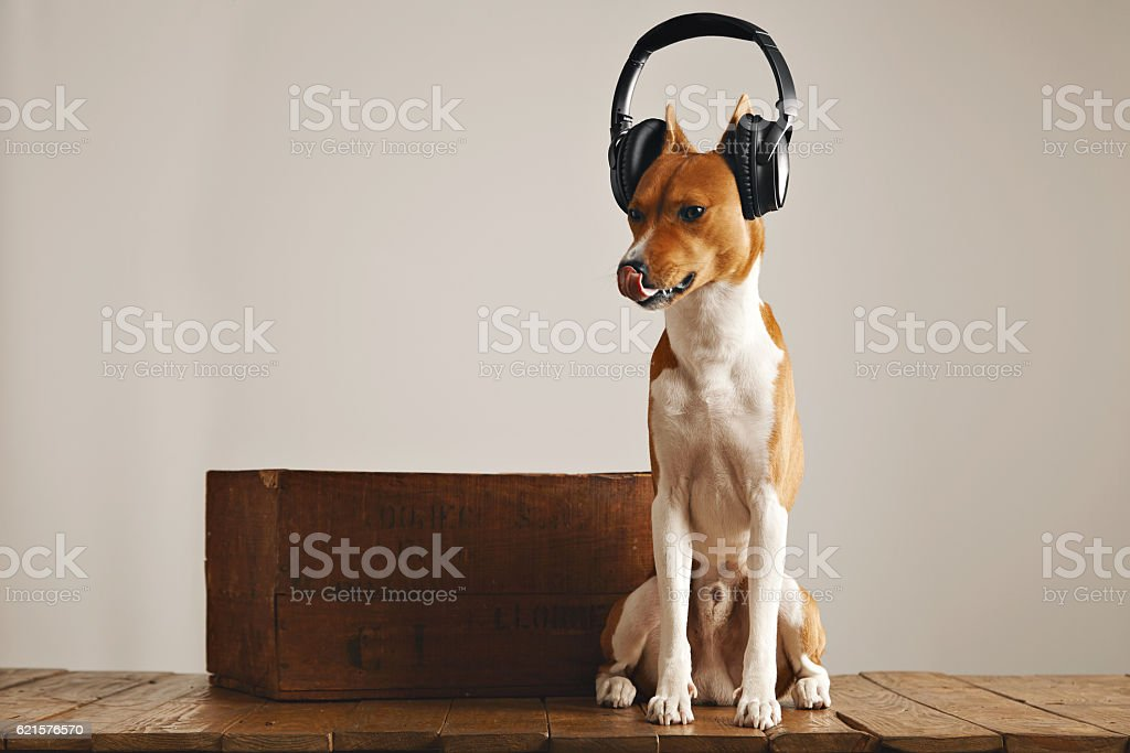 Cute basenji dog wearing headphones photo libre de droits