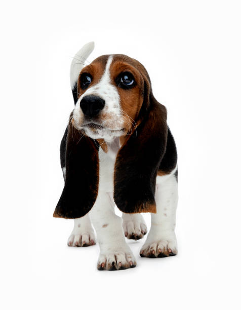 Cute Basset puppy stock photo