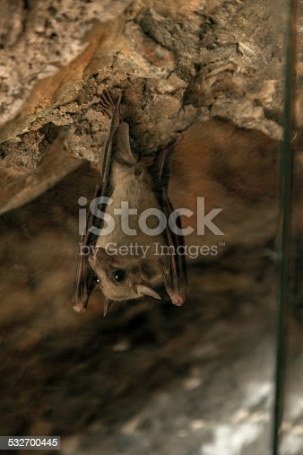 Cute bat hangs upside down in the cave