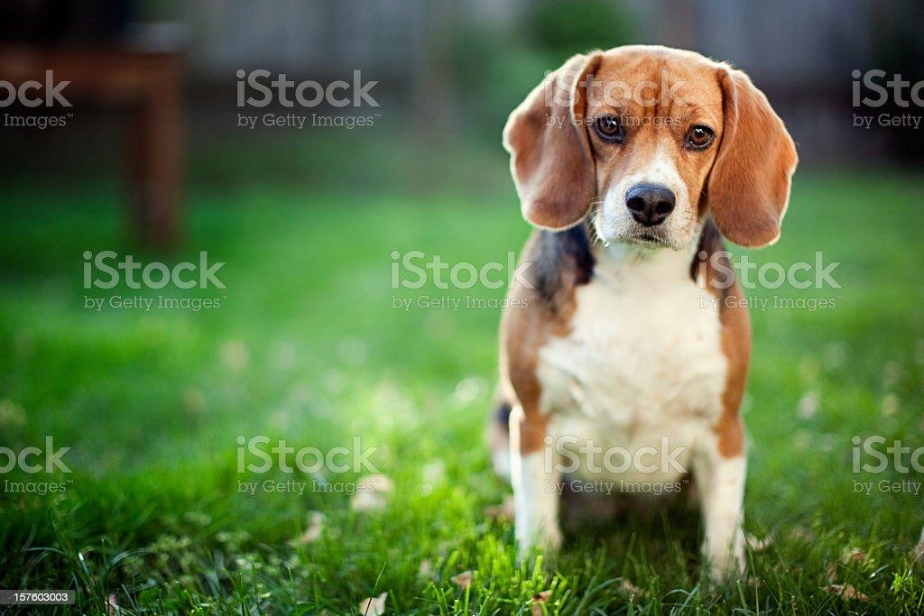 Cute Beagle At Park stock photo