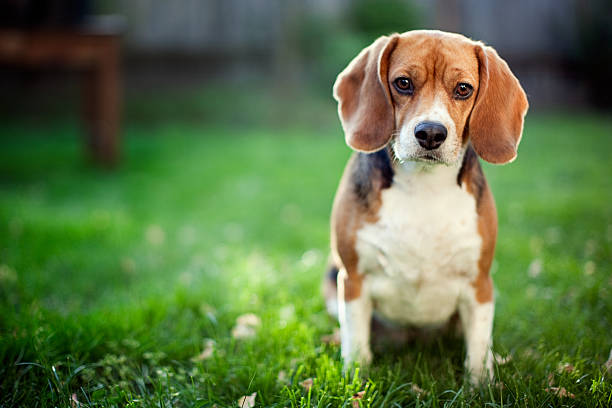 Cute Beagle At Park A beautiful hound dog sits on a green grass lawn looking at the camera,  with sunlight backlighting her head.  Horizontal with copy space. female animal stock pictures, royalty-free photos & images