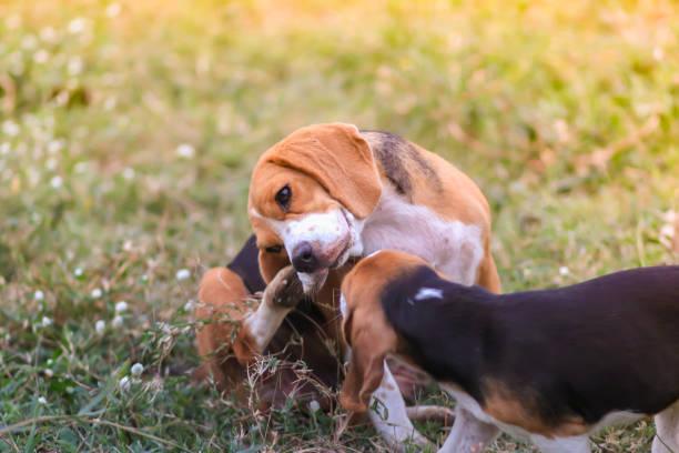 Een schattige beagle hond moeder en haar pups spelen buiten op de groene grasveld, een kleine puppy op zoek naar haar moeder krassen lichaam. foto
