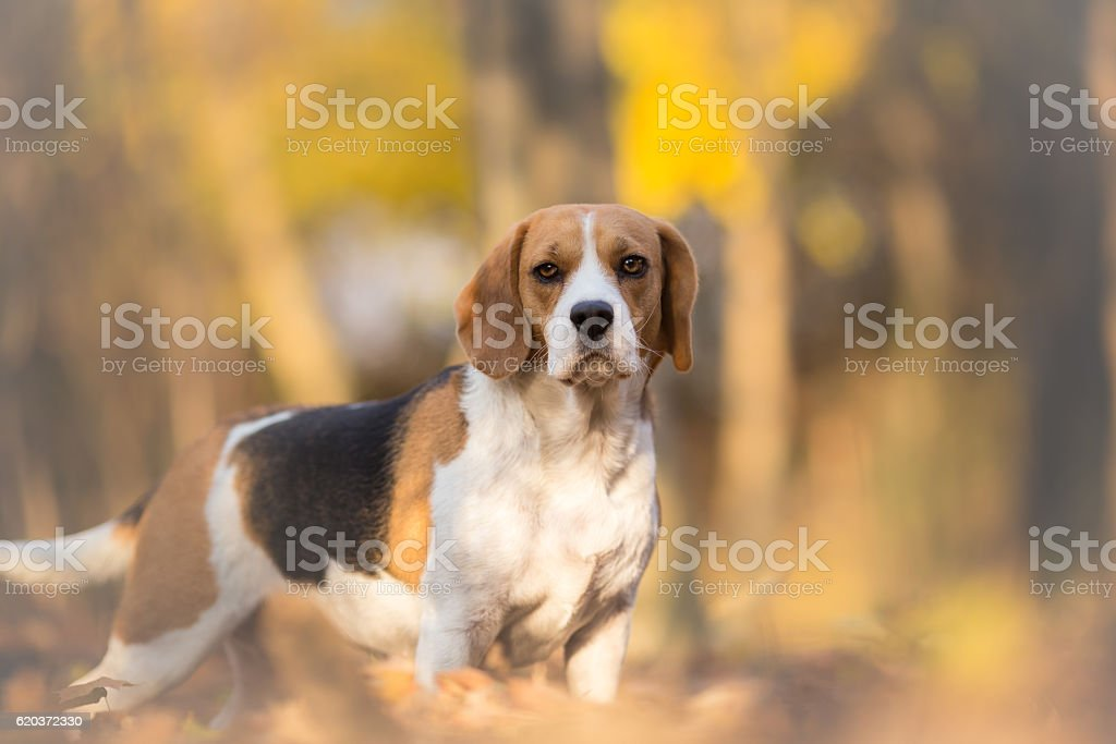 Cute Beagle Dog On Autumn Forest With Leaves zbiór zdjęć royalty-free