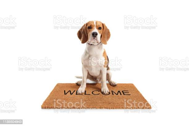 Cute beagle dog sitting on a brown welcome mat picture id1135504943?b=1&k=6&m=1135504943&s=612x612&h=qjv8qwxkrc8ienhq5 b34ajdenb1pnmnp xuyv5hmeo=