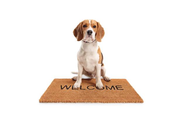 Cute beagle dog sitting on a brown welcome mat picture id1135504943?b=1&k=6&m=1135504943&s=612x612&w=0&h=3kuaoimmnuijzimkfrqxrdf3bji lt8gkikqng9 mcy=