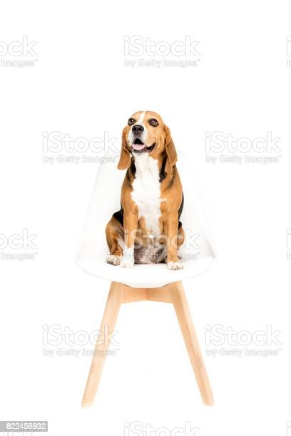 Cute beagle dog sitting on chair isolated on white picture id822456932?b=1&k=6&m=822456932&s=612x612&h=lusqycbljgrkgo5evqhmesxxnogejbc5r 2ndvmuakk=