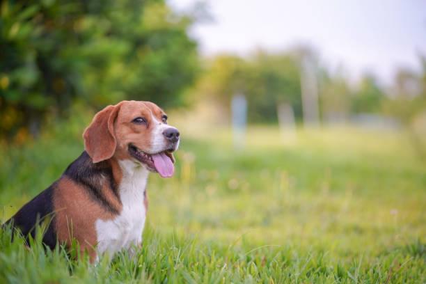 Een leuke beagle hond zittend op het groene grasveld. foto