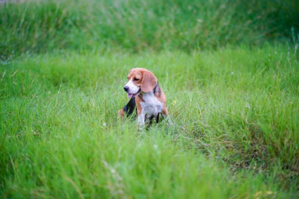 Een schattige beagle hond zittend buiten op de groene grasveld. foto