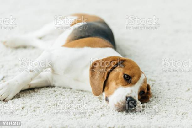 Cute beagle lying on carpet at home picture id926160514?b=1&k=6&m=926160514&s=612x612&h=gx9rkvc8gyzh7ntnrvjsskkroka2jlafdug9q nfb3g=