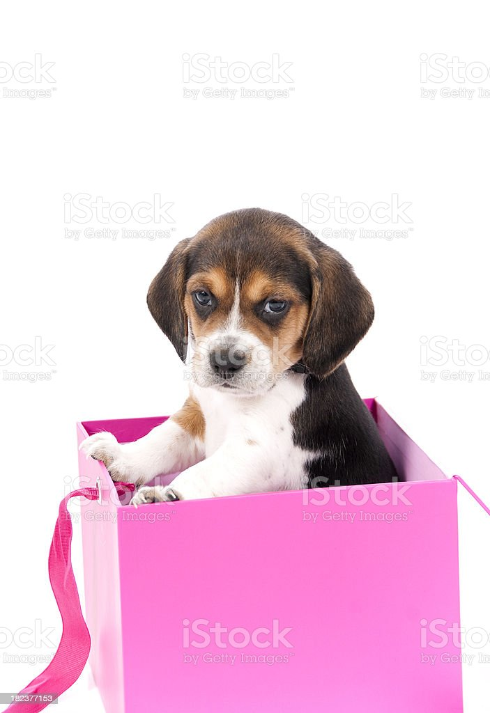 cute beagle puppy in a pink box stock photo more pictures of