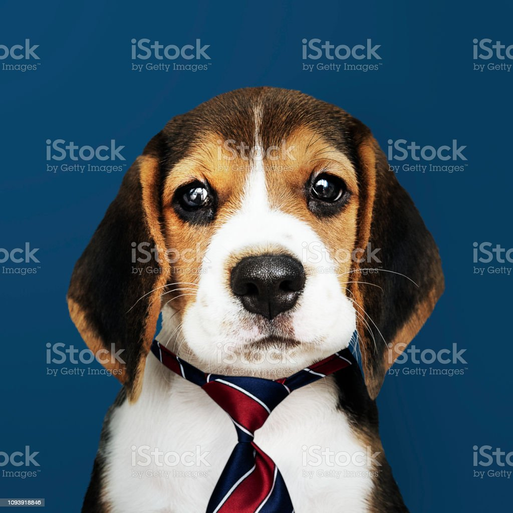 Cute Beagle Puppy In A Red Blue And White Striped Necktie Stock Photo Download Image Now Istock