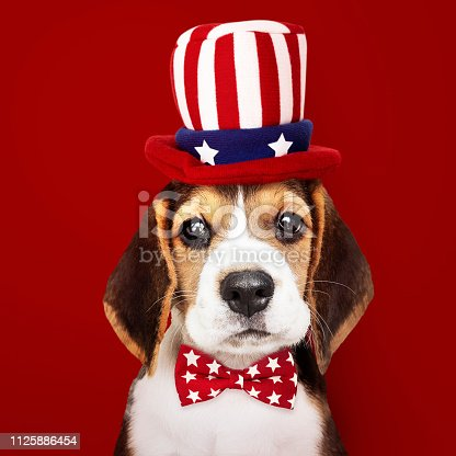 istock Cute Beagle puppy in Uncle Sam hat and bow tie 1125886454