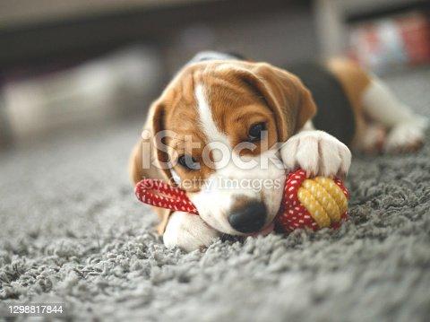 cute beagle puppy lies on the carpet.