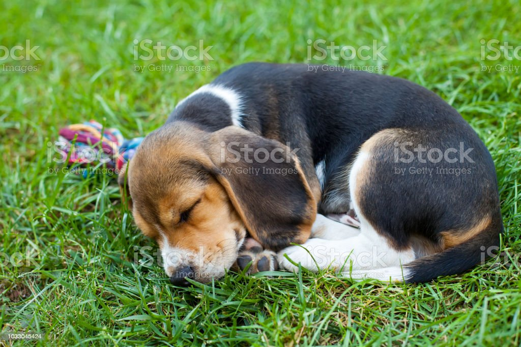 Cute Beagle Puppy On The Grass Stock Photo Download Image Now Istock
