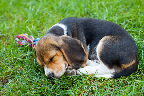 Cute beagle puppy on the grass stock photo