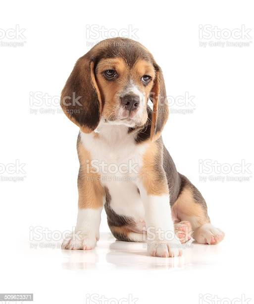 Cute beagle puppy picture id509623371?b=1&k=6&m=509623371&s=612x612&h=awpx7qz7  bf yyesb2zpnlzjy6g0et6 39nmchawig=