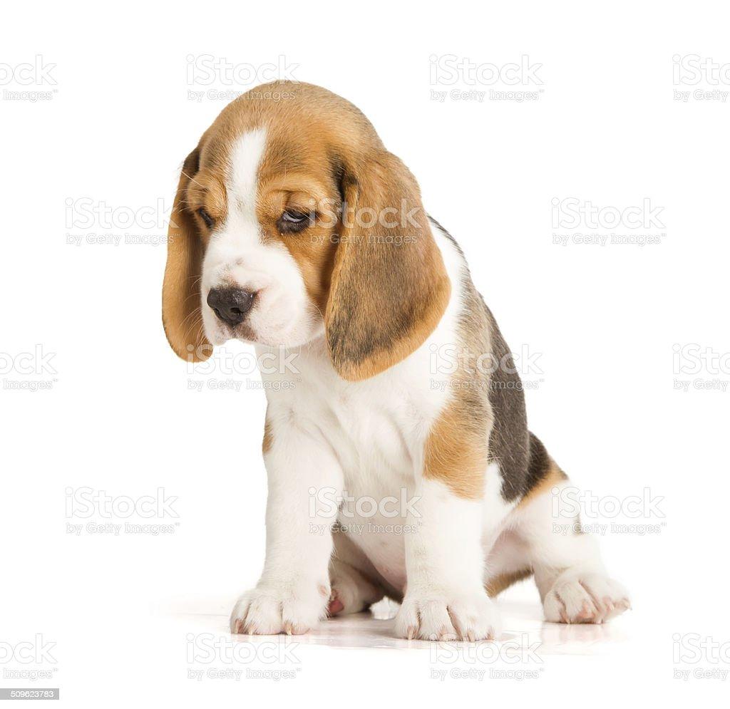 Mignon chiot beagle photos et plus d 39 images de animaux - Chiot beagle gratuit ...