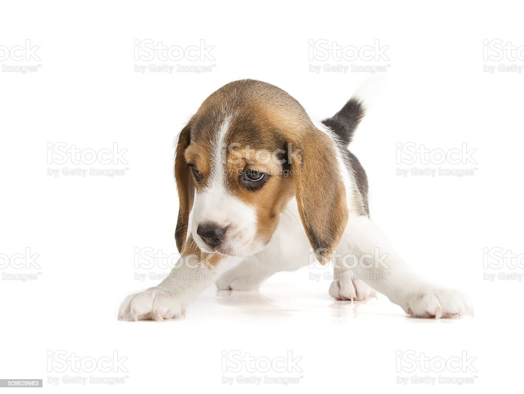 Cute Beagle Puppy (5 week old) stock photo