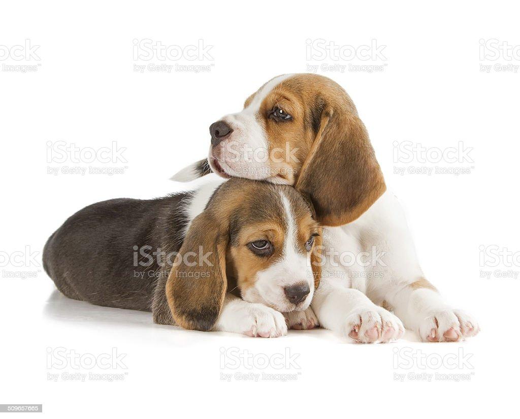 Cute Beagle Puppy stock photo