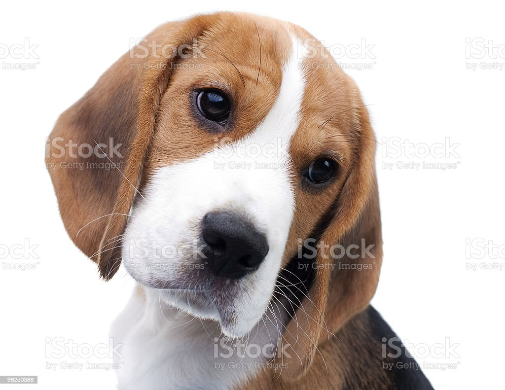Cute beagle puppy royalty-free stock photo